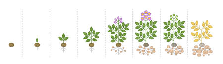 Growth stages of potato plant. Solanum tuberosum. Growing period steps. Harvest animation progression. Fertilization phase. Cycle of life. Vector infographic set.