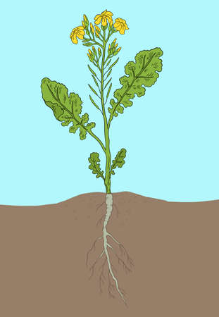Rapeseed blossom. Oilseed agriculture. Rape plant. Brassica napus. Vector Illustration. Hand drawn color sketch.