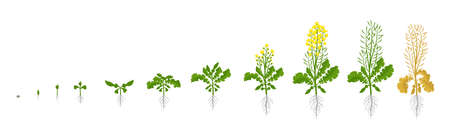Rapeseed oilseed rape plant. Growth stages. Growing period steps. Harvest animation progression development. Fertilization phase. Cycle of life. Vector infographic set. Illustration