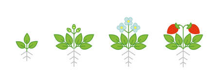 Strawberry plant growth stages. Fragaria development budding then flowers and fruits. Harvest animation progression. Berry ripening period. Illustration