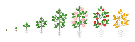 Plant growth stages. Growing period steps. Harvest animation progression phase. Cycle of life. Vector set. Illustration