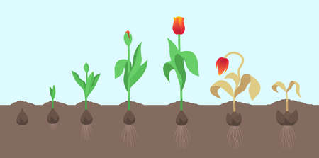 Tulip flower plant. Tulipa gesneriana. Growth stages. Growing period steps. Harvest animation progression. Fertilization phase. Cycle of life. Vector set. Illusztráció