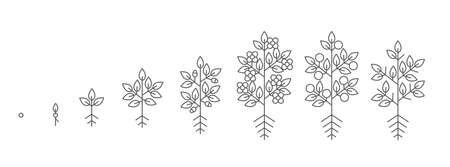 Plant growth stages. Growing period steps. Harvest animation progression. Fertilization phase. Cycle of life. Black line contour outline. Vector icon set.