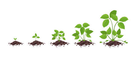 Strawberry plant growth stages. Without flowers and fruits only grass leaves. Fragaria development. Vector infographic.
