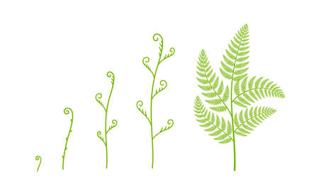 Fern plant growth stages. Polypodiopsida or Polypodiophyta. Growing period steps. Harvest animation progression phase. Life cycle. Vector set.