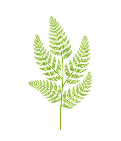 Fern plant. Polypodiopsida or Polypodiophyta. One plant branch on a white background. Illustration