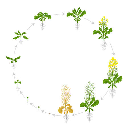Rapeseed cycle of life. Oilseed plant round growth stages. Growing period steps. Brassica napus. Harvest animation progression. Vector infographic set.