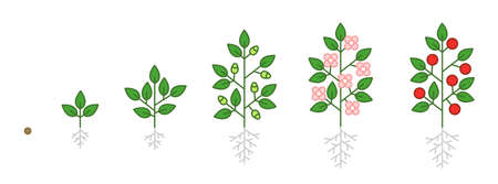 Plant growth stages infographic. Seedling, budding flowering and fruit. Growing period steps. Harvest animation progression phase. Cycle of life schema. Illustration