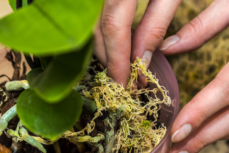 Girl transplant orchid. Focus on hand. Stock Photo
