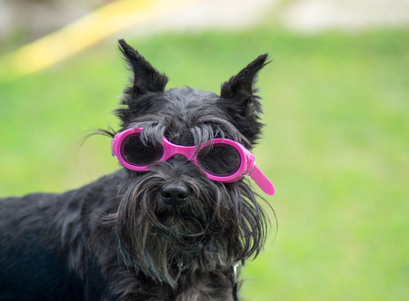 Small dog with glasses for swimming photo