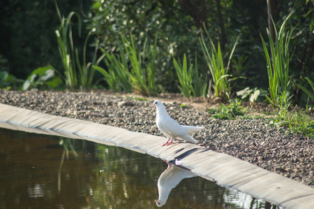 White dove on the shore of the pond 스톡 콘텐츠