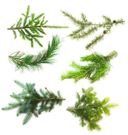 evergreen branch: Conjunto de ramas de los árboles de coníferas aisladas en el fondo blanco. Ramas de coníferas se cierran para arriba para su diseño. Abeto, pino, alerce, cedro, pino y el abeto azul.