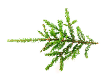 Spruce branch isolated on white background for your design Imagens
