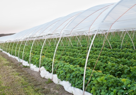 Agricultural greenhouse strawberry field  contryside Standard-Bild