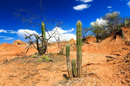 desert sunset: big cactuses in red desert, tatacoa desert, columbia, latin america, clouds and sand, red sand in desert