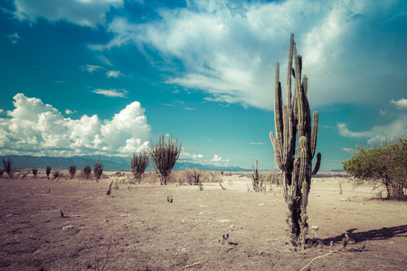 wild: big cactuses in red desert, tatacoa desert, columbia, latin america, clouds and sand, red sand in desert