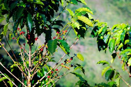 latin america: coffee beans on plant, colombia, latin america Stock Photo
