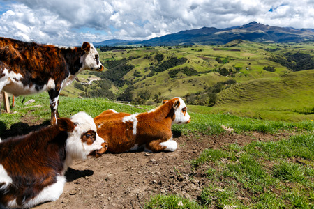 latin america: alps cows in the mountains, colombia, latin america