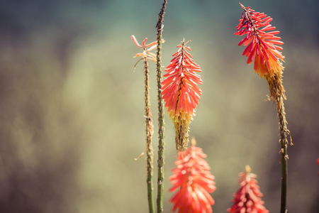 flowers bokeh: Kniphofia flowers, close up, focus on flowers, bokeh, colombia, cocora valley, latin america Stock Photo
