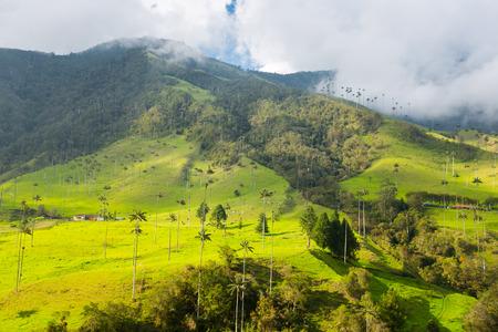 cafe colombiano: selva colombiana en las montañas, palmeras en el Valle del Cocora, Colombia, América Latina