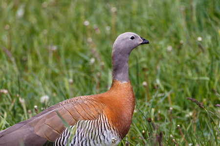 patagonian goose, birds, animals, argentina, tierra del fuego, patagonia, south america
