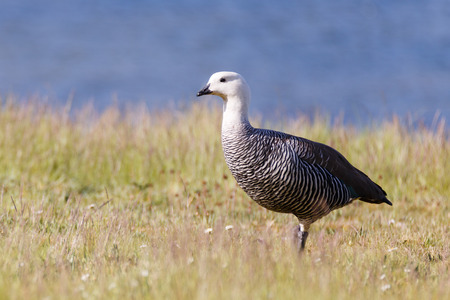 white nile: patagonian goose, birds, animals, argentina, tierra del fuego, patagonia, south america