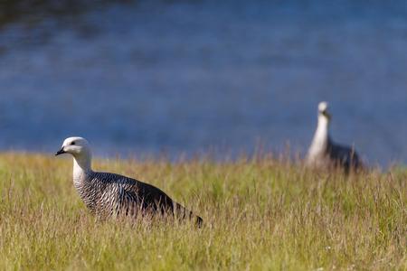 patagonian goose, birds, animals, south america, patagonia, argentina, tierra del fuego, land of fire