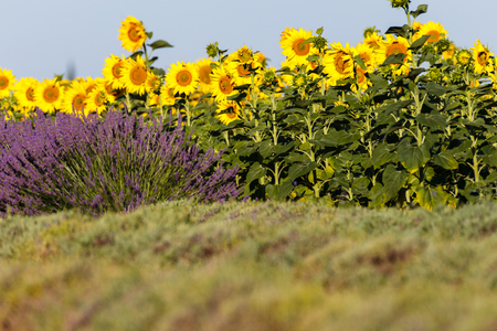 sunflowers fields, fileds of sunflowers, sunflower oil, provence, france