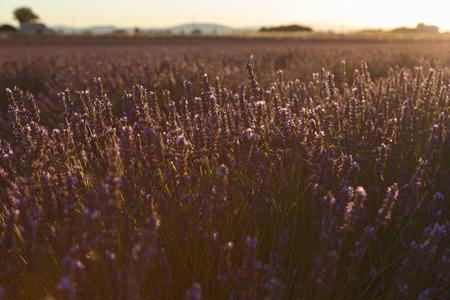 lavender fields provence france landscape