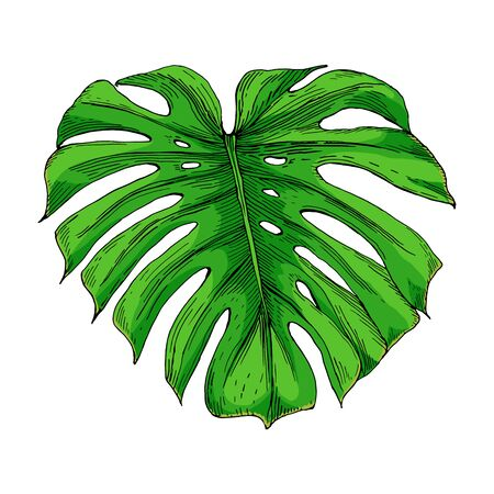Vector vintage illustration of green monstera leaf isolated on white. Hand drawn color botanical element in engraving style. Tropical plant sketch