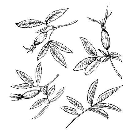 Skizze von Hagebuttenzweigen. Satz Zweige mit Beeren. Schwarz-Weiß-Bild. Skizzieren Sie schwarze Tinte.