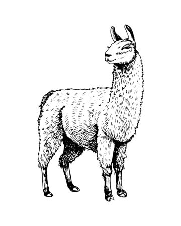 Llama drawing. black and white image. Sketch. Print on clothes. Postcard.
