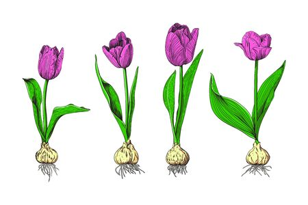 Botanical set of colorful tulips. Four bright pink tulips with bulbs on a white background. Vector illustration.