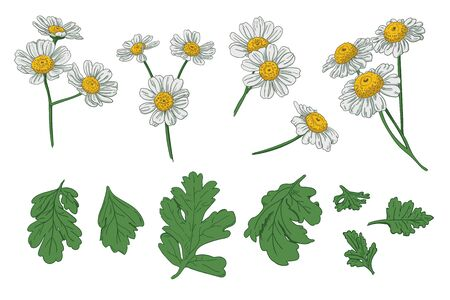 Set of individual elements of chamomile flowers. Vector parts of inflorescences and leaves of a plant. Ilustración de vector