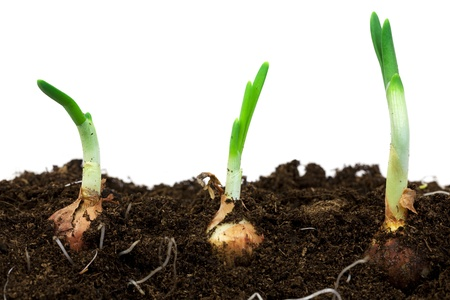 Spring onions in soil
