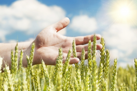 Hands near ears on cereals field in summer with sun beam