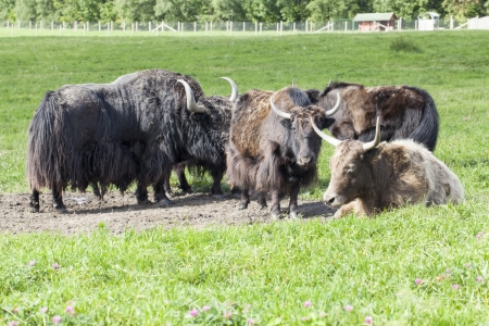 Yak grazing in a meadow Stock Photo