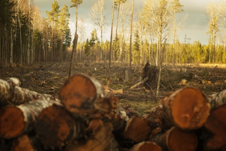 Cut out,cleared, destroyed spruce, pine,birch mixed forest