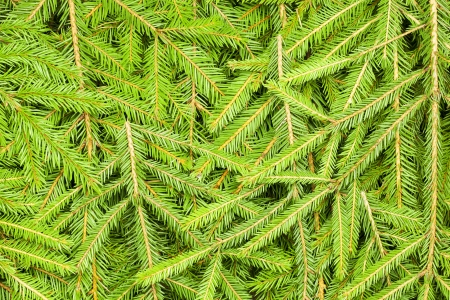 Background of spruce branches photo
