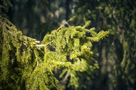 backwoods: Sunlit spruce tree branch in the backwoods