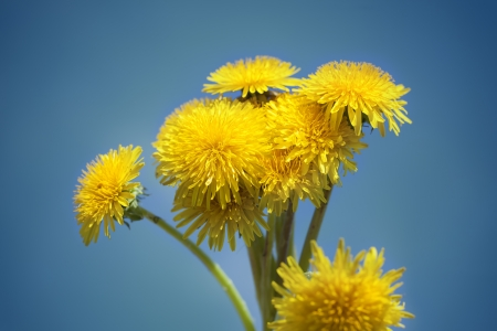 Dandelions on a blue sky background photo