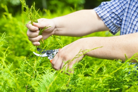 Hands with gardener shears near thuja in summer Stock Photo