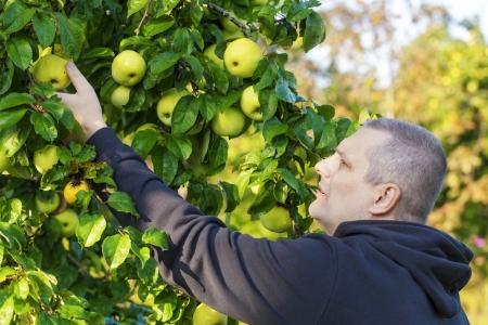 Man Kommissionierung Äpfel im Garten Standard-Bild - 22222368