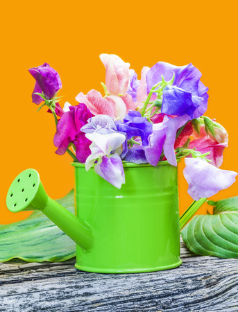 Sweet pea blossoms in green watering can Stock Photo