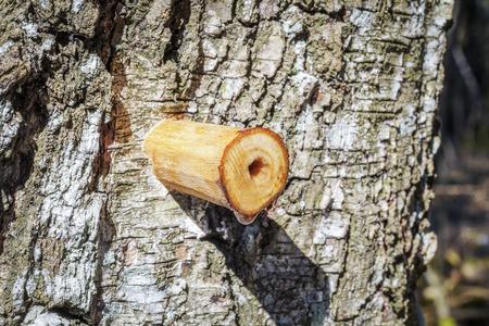 Drip of birch sap in early spring Фото со стока