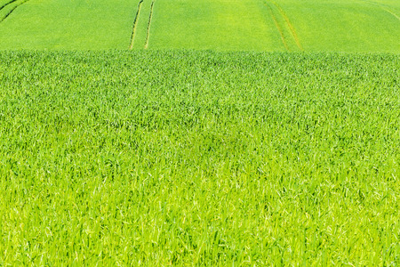 agricultura: Green cereals field in summer