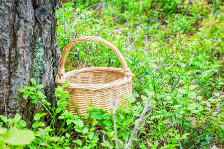 blueberry bushes: Empty wooden basket in the woods between blueberry bushes
