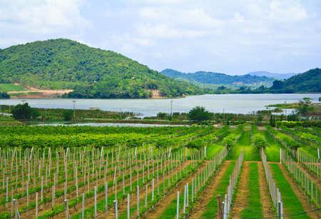 Grape Vineyard With Lake And Mountains photo