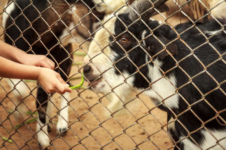 feeding through: Child Hand Feeding Goat Through The Cage