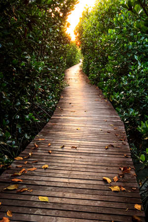 boardwalk trail: Wooden Bridge In Mangrove Forest Stock Photo